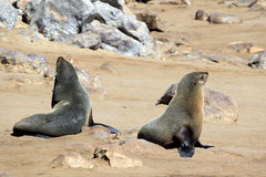 Colony of seals at Cape Cross Reserve, Atlantic Ocean coast Stock Photo