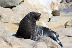 Colony of seals at Cape Cross Reserve, Namibia Stock Photos