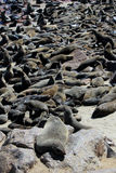 Colony of seals at Cape Cross Reserve, Namibia. Colony of seals at Cape Cross Reserve, Atlantic Ocean coast in Namibia royalty free stock photos