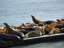 Colony of seals on pier Royalty Free Stock Image