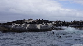 Colony of seals on rocks in the natural environment Stock Images