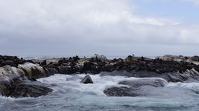 Colony of seals on rocks in the natural environment. Colony of seals on stones, in the Atlantic Ocean, blue sky with cotton clouds Royalty Free Stock Photography