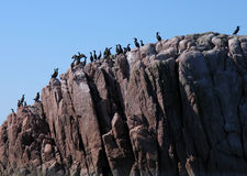 A colony of shags. Shag colony sitting on a rocky outcrop at sea royalty free stock photography