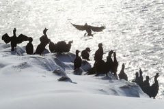 Colony of shags in backlit, Norway Stock Photo
