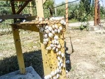 Colony of snails on an iron gas pipe. Snails bask in the sun. Mating of snails. Colony of snails on an iron gas pipe. Snails bask in the sun. Mating of snails Royalty Free Stock Photos
