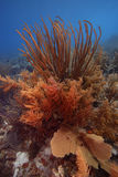 Colony of soft corals. Including Sea Rods and a Sea Fan, Bonaire Stock Photography