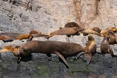 Colony of South American Sea Lion. (Otaria flavescens Royalty Free Stock Image