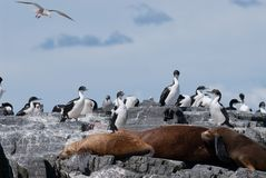 Colony of South American Sea Lion and Cormorants Royalty Free Stock Photos