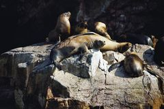 Colony South American sea lion Otaria byronia the Ballestas Islands - Peru. The Colony South American sea lion Otaria byronia the Ballestas Islands - Peru Royalty Free Stock Photos