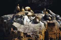 Colony South American sea lion Otaria byronia the Ballestas Islands - Peru. The Colony South American sea lion Otaria byronia the Ballestas Islands - Peru Royalty Free Stock Photo