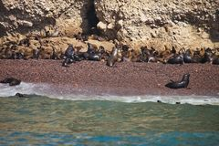 Colony South American sea lion Otaria byronia the Ballestas Islands - Peru Royalty Free Stock Image