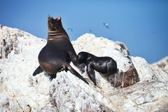 Colony South American sea lion Otaria byronia the Ballestas Islands - Peru. The Colony South American sea lion Otaria byronia the Ballestas Islands - Peru Royalty Free Stock Image