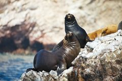 Colony South American sea lion Otaria byronia the Ballestas Islands - Peru Stock Photos