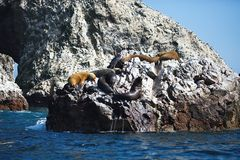 Colony South American sea lion Otaria byronia the Ballestas Islands - Peru. The Colony South American sea lion Otaria byronia the Ballestas Islands - Peru Stock Photo