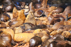 Colony of South American sea lions in Ballestas islands Reserve Stock Photos