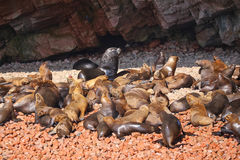 Colony of South American sea lions in Ballestas islands Reserve Stock Photo
