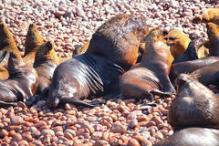 Colony of South American sea lions in Ballestas islands Reserve Royalty Free Stock Photo