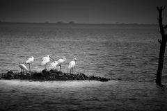 Colony of Spoonbills royalty free stock photo