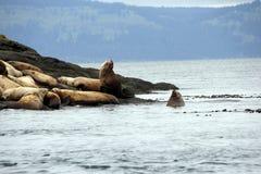 Colony of Stellar Sea Lions on Spiden Island off coast of British Columbia stock image