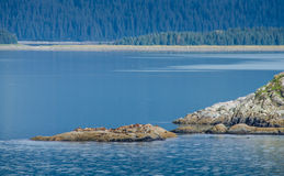 Colony of Steller sea lions bask in the sun Stock Images
