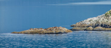 Colony of Steller sea lions bask in the sun stock photos