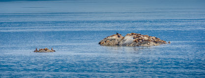 Colony of Steller sea lions bask in the sun royalty free stock photo