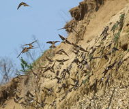 Colony of swallows,  Sand Martin breeding colony Royalty Free Stock Photography