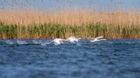 White swans colony on lake from in Danube Delta , Romania wildlife bird watching royalty free stock photo