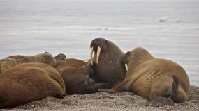 Colony of Walruses in Svalbard Stock Photos