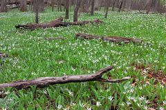 A colony of White Trout Lilies. A large colony of white trout lilies spreads through fallen charred logs of the forest floor. In early springtime, trout lilies stock photo