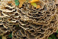 Colony of wood inedible mushrooms on a trunk Stock Image
