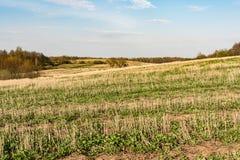 Coloque após a colheita, elimine hastes dos cereais e da grama verde emergente, céu azul com nuvens pequenas, tempo de mola imagem de stock royalty free