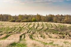 Coloque após a colheita, elimine hastes dos cereais e da grama verde emergente, céu azul com nuvens pequenas, tempo de mola fotografia de stock royalty free
