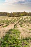 Coloque após a colheita, elimine hastes dos cereais e da grama verde emergente, céu azul com nuvens pequenas, tempo de mola imagens de stock royalty free