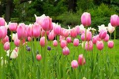 Coloque com as flores cor-de-rosa e roxas - primavera Fotografia de Stock