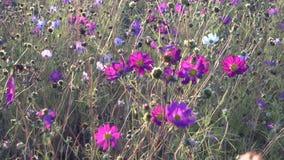 Coloque com branco e as flores cor-de-rosa do cosmos balançam no vento vídeos de arquivo