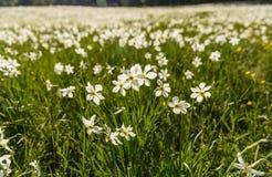 Coloque com muitos narciso brancos, Styria, Áustria Fotos de Stock
