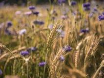 Coloque com trigo no verão em um dia ensolarado Fotos de Stock Royalty Free