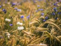 Coloque com trigo no verão em um dia ensolarado Foto de Stock Royalty Free