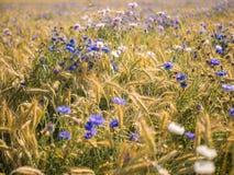 Coloque com trigo no verão em um dia ensolarado Fotografia de Stock