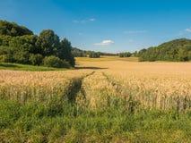 Coloque com trigo no verão em um dia ensolarado Imagens de Stock