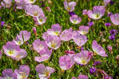 Coloque com Violet Wildflowers colorida na reserva natural de Hagerman, Texas Imagens de Stock
