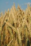 Coloque con el maíz del trigo listo para la cosecha Foto de archivo libre de regalías