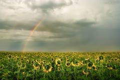 Coloque con girasoles amarillos y un arco iris en nubes de la tempestad de truenos Foto de archivo