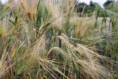 Coloque con la cebada en las cercanías del pueblo Foto de archivo