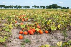 Coloque con las calabazas anaranjadas cosechadas en una fila Imagenes de archivo