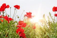 Coloque con las flores de una amapola del rojo en luz del sol de la mañana Foto de archivo libre de regalías