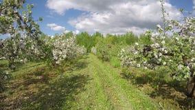 Coloque con los Apple-árboles florecientes, lapso de tiempo 4K metrajes