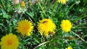 Coloque con los dientes de león en hierba verde/abeja en el diente de león/ Foto de archivo