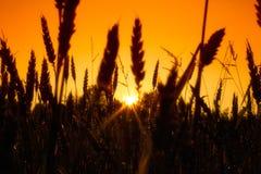 Coloque con los oídos del oro del trigo en puesta del sol Imagen de archivo libre de regalías